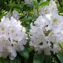 Rhododendron 'CATAWBIËNSE ALBUM'