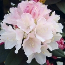 Rhododendron 'DREAMLAND'