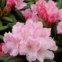 Rhododendron 'MORNING CLOUD'