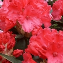 Rhododendron 'VOLLBLUT'