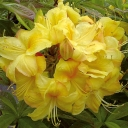 Azalea 'GOLDEN SUNSET'