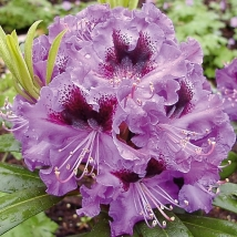 Rhododendron 'BLAUE JUNGS'